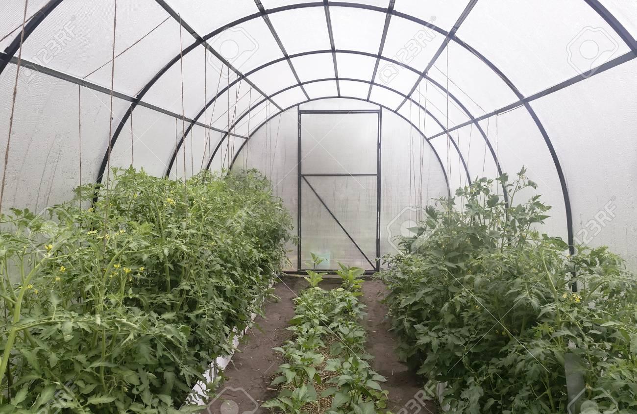 Un pequeño invernadero con un marco de metal cubierto con policarbonato. Diseñado para el cultivo de hortalizas. En un invernadero cultivando tomates,