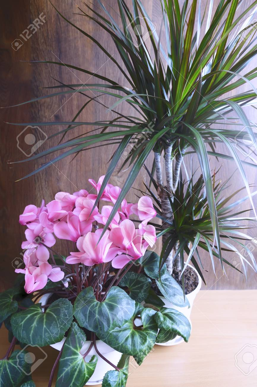 Potted flowers blooming pink cyclamen and tropical plant dracaena potted flowers blooming pink cyclamen and tropical plant dracaena stock photo 100136702 mightylinksfo