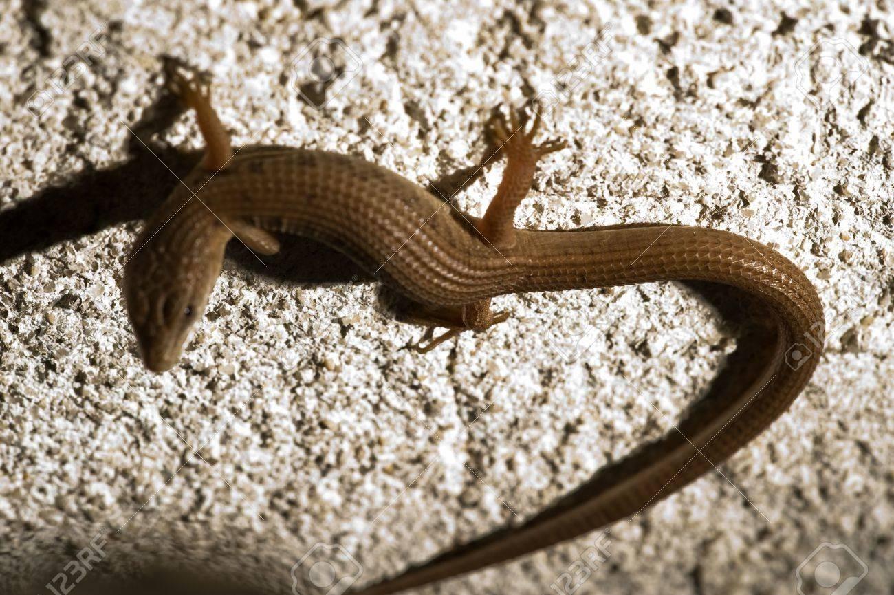 close up of a skink lizard found in backyard in california stock