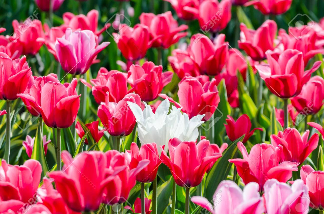 Large Blooming Flower Bed With Holland Pink Hybrid Tulips Stock