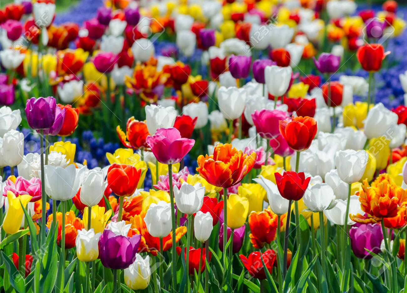 Large Blooming Flower Bed With Multicolored Hybrid Tulips Stock
