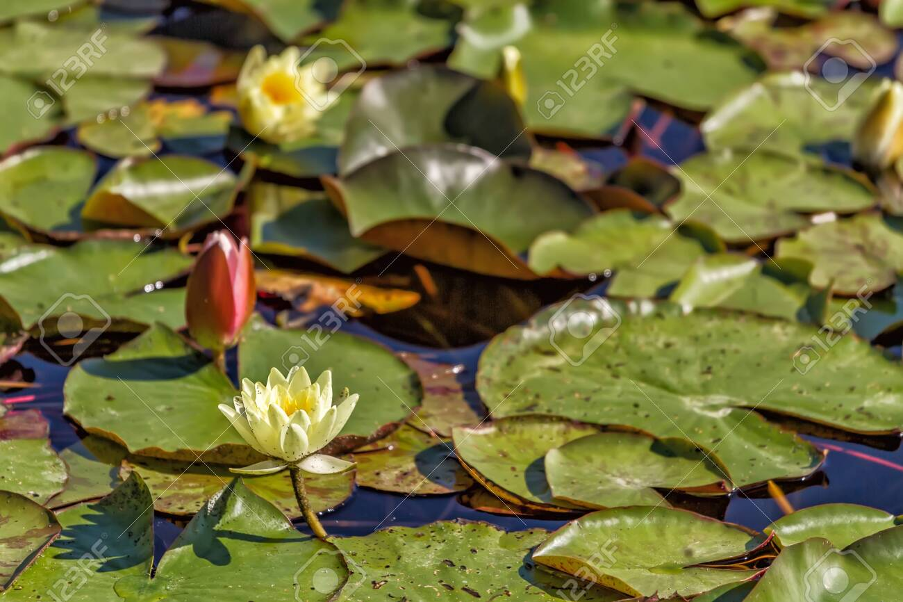 Flowering lilies grow in a small pond in early summer - 139127475