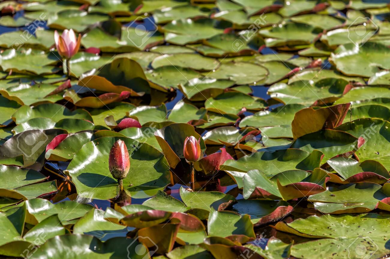 Flowering lilies grow in a small pond in early summer - 139127247