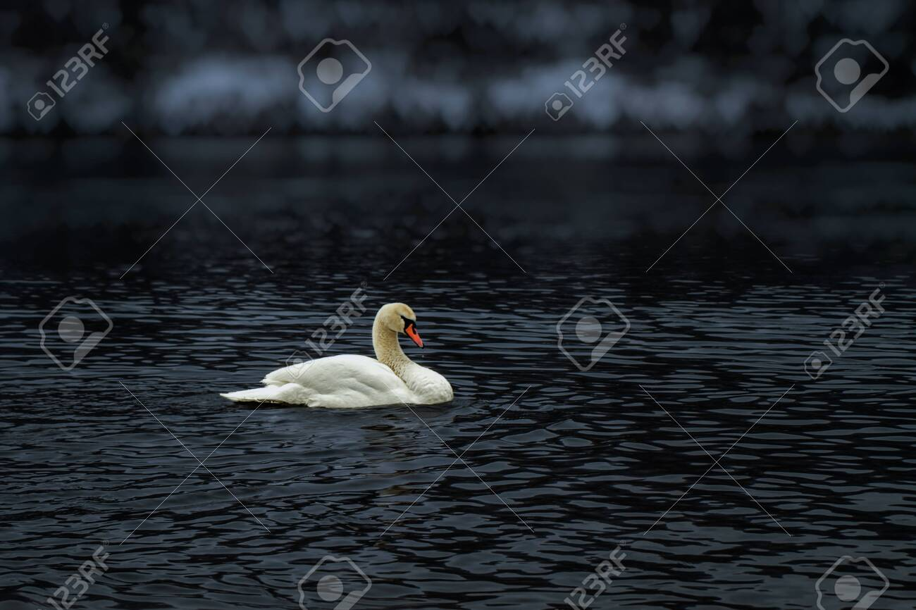 A lone swan floating on a river - 143888357