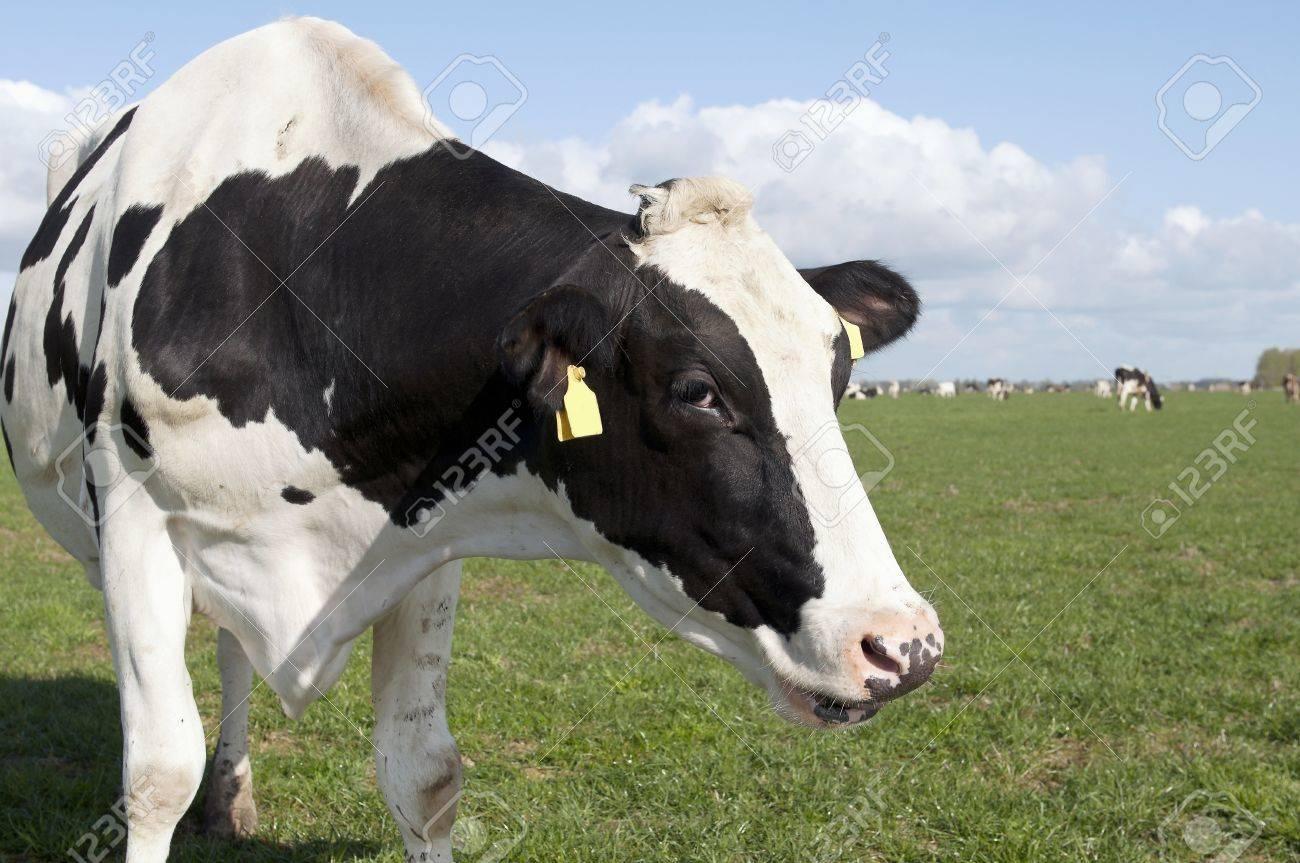 cows head on sunny farmland Stock Photo - 14112888