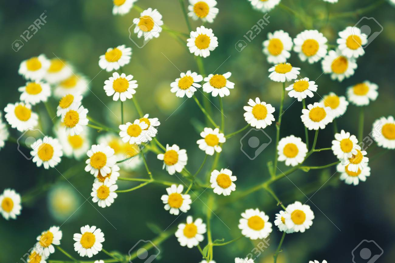 White Daisy Flower Background Chamomile In Nature Stock Photo