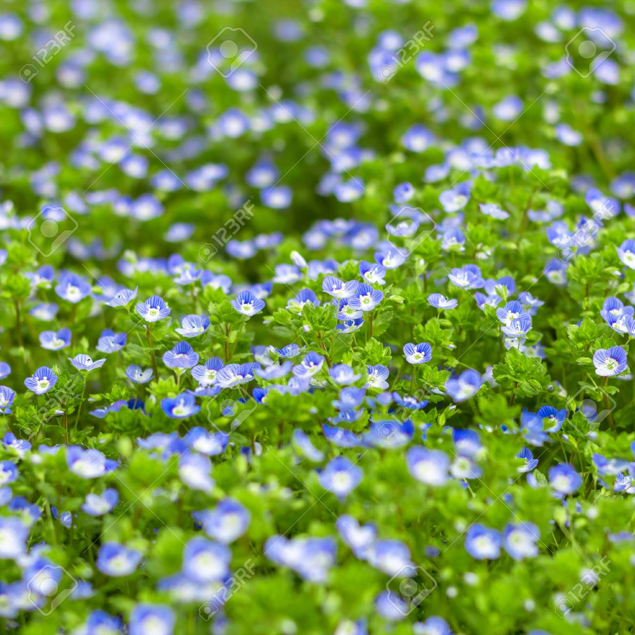 Blue Small Wildflowers Fresh Small Light Blue Flowers Forget Me
