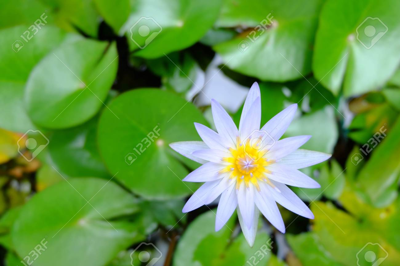 Close Up Of Beautiful Purple Lotus Flower And Green Lotus Leaf Is