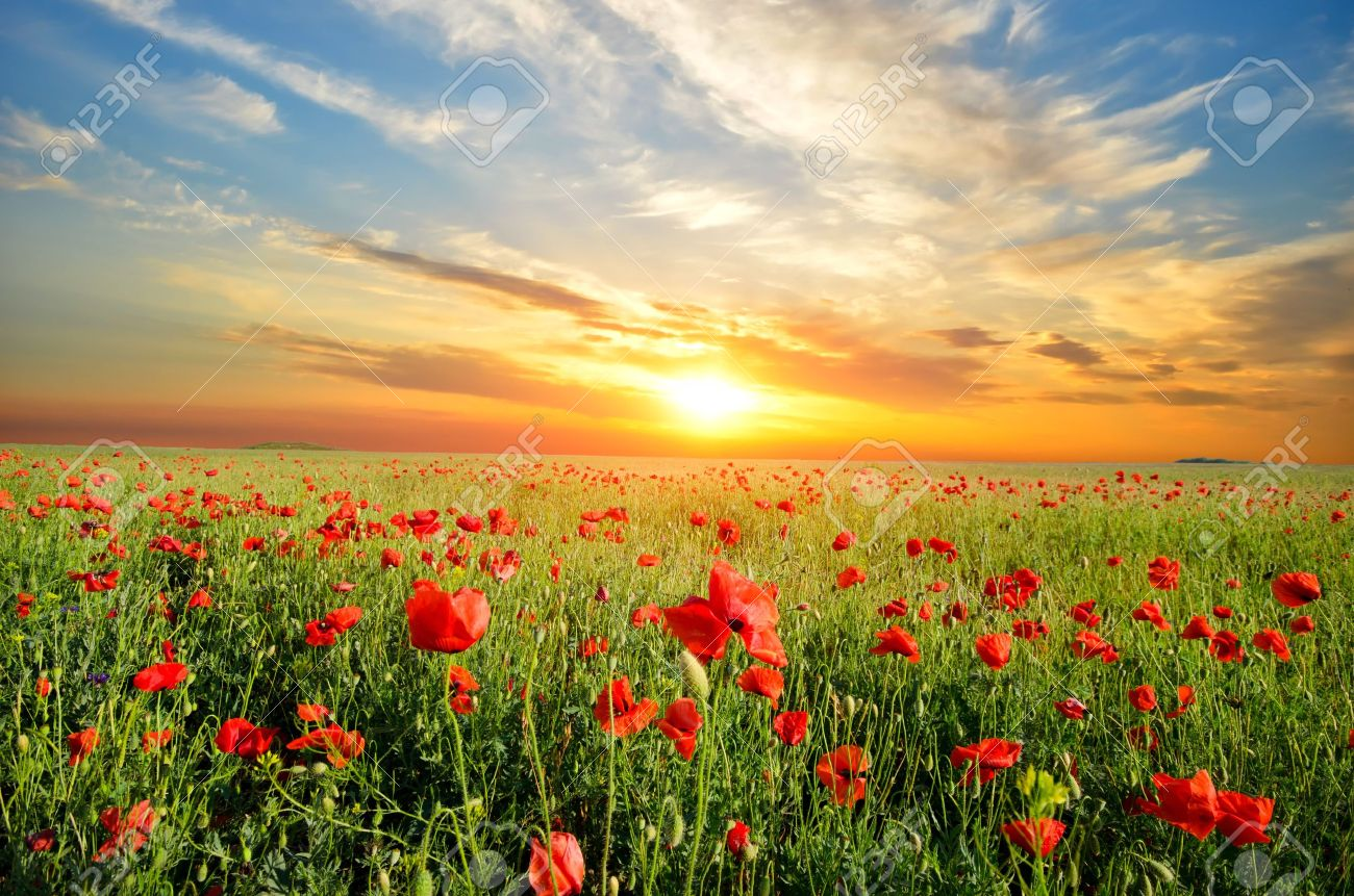 field with green grass and red poppies against the sunset sky - 13966118