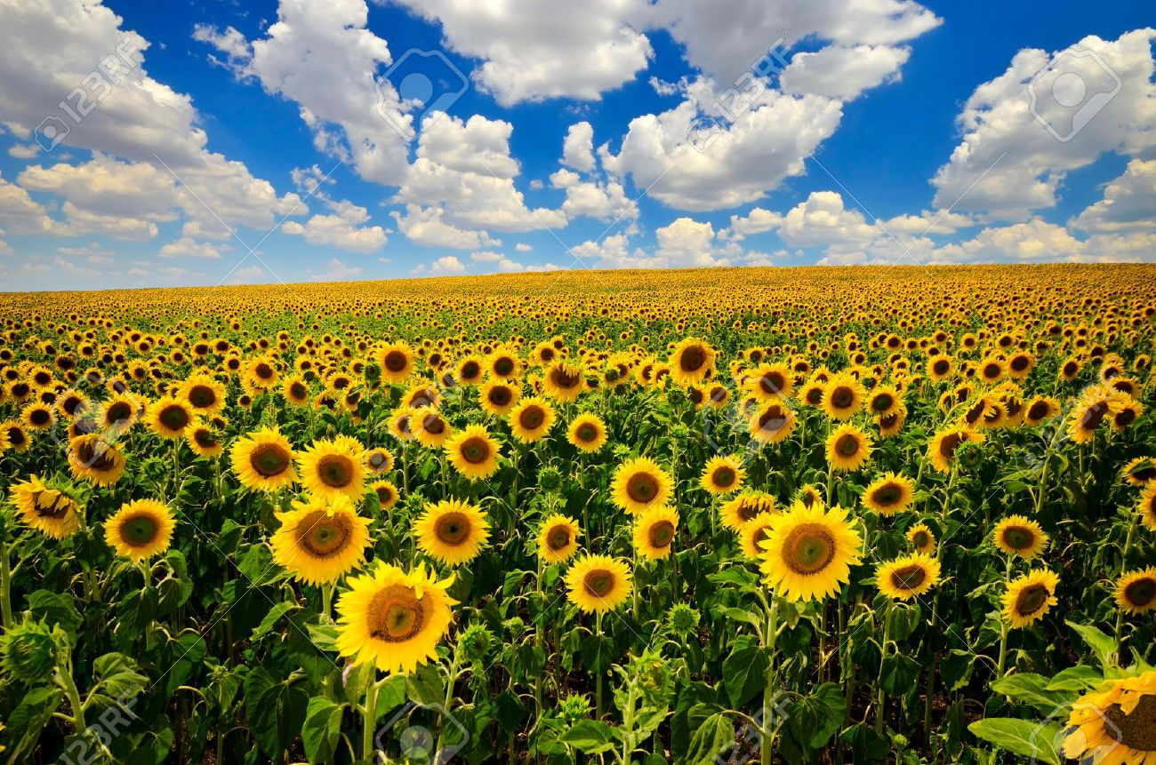 field of blooming sunflowers on a background of blue sky - 14396947