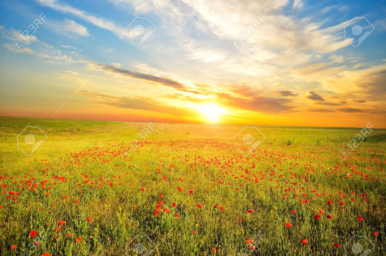 field with green grass and red poppies against the sunset sky - 14587953