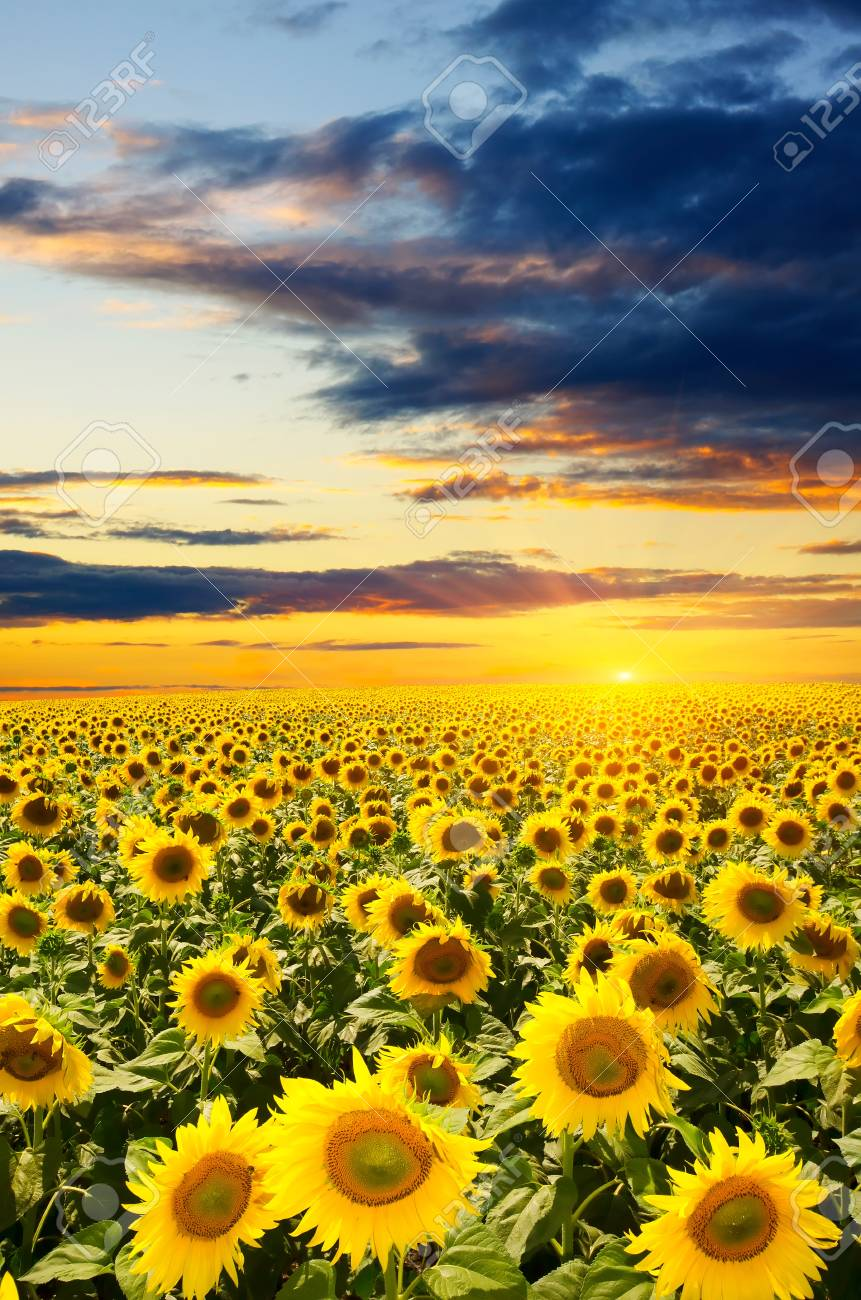 a field of blooming sunflowers against a colorful sky - 14773684