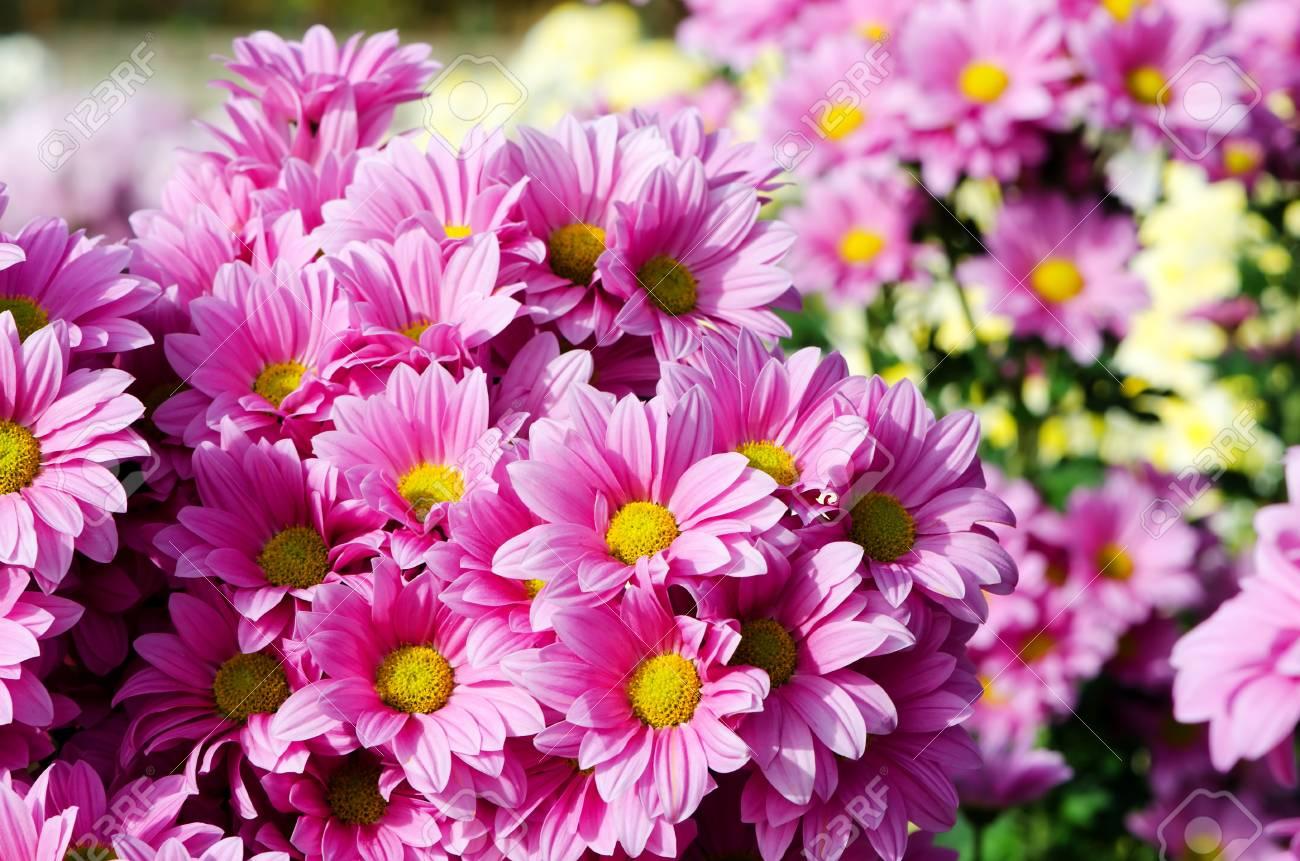 Bouquet de chrysanthèmes roses en fleurs dans le jardin d\'automne