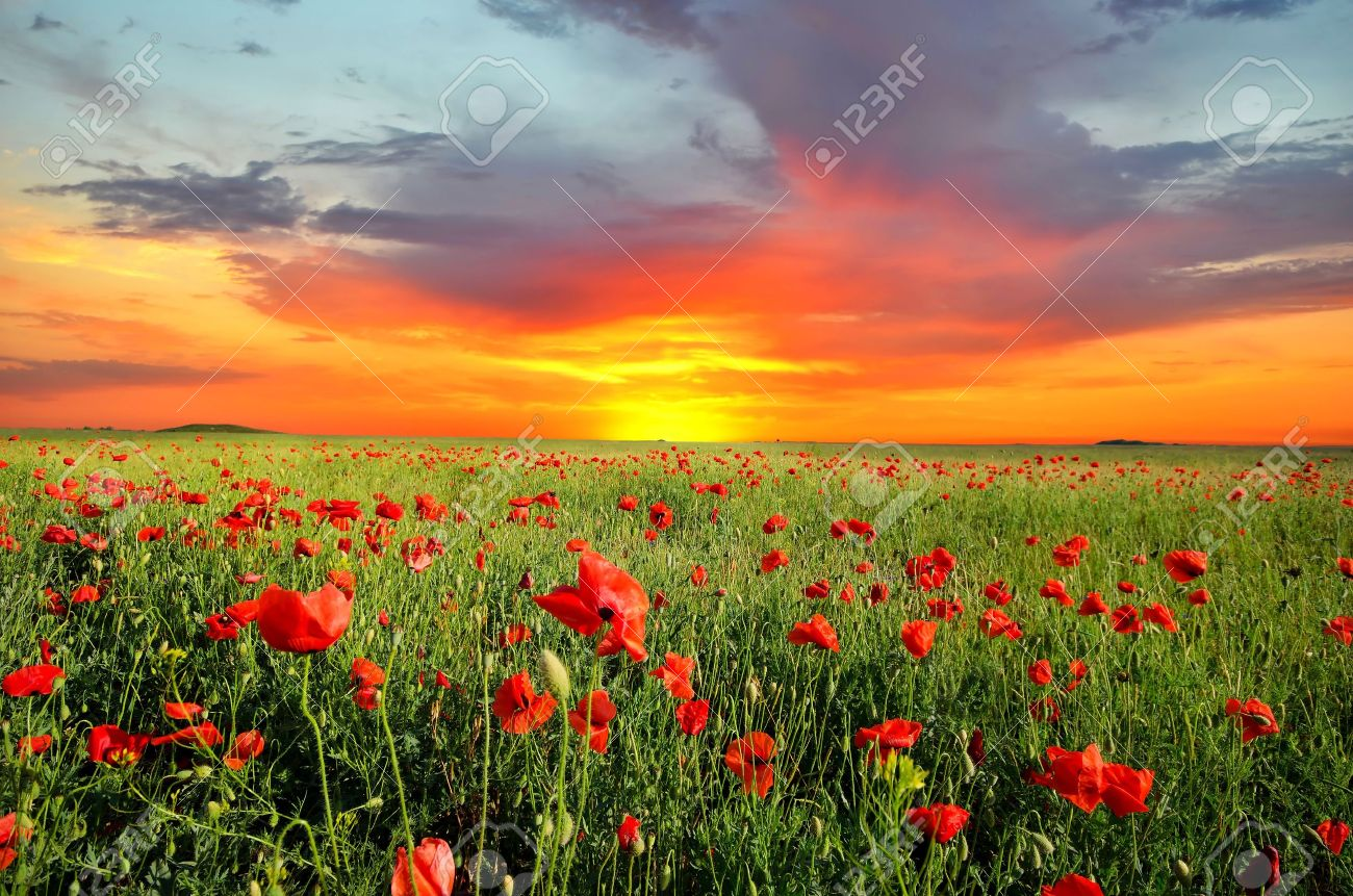 field with green grass and red poppies against the sunset sky - 16759908