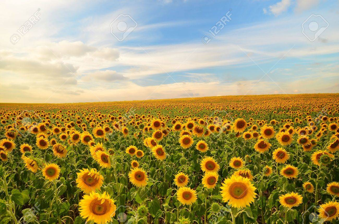 field of blooming sunflowers on a background sunset - 18671692