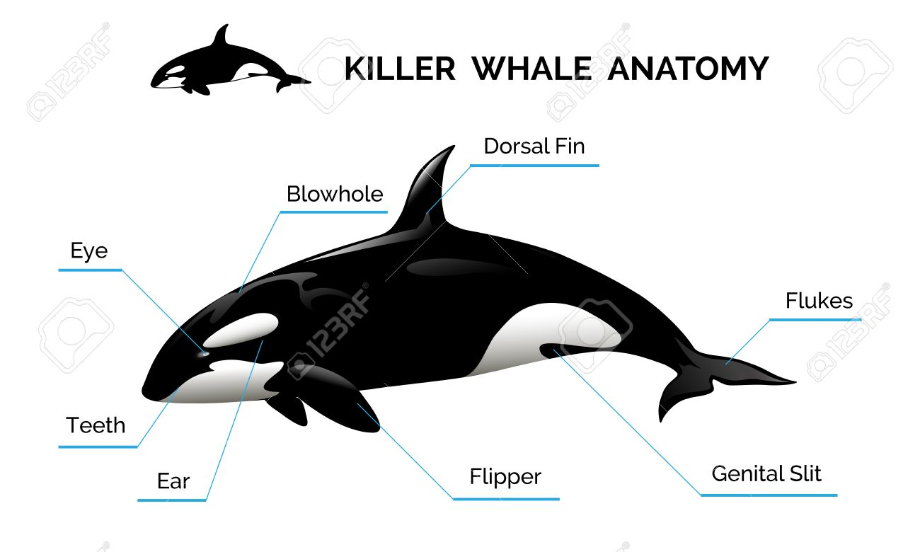 2057 Killer Whale Cliparts Stock Vector And Royalty Free Killer