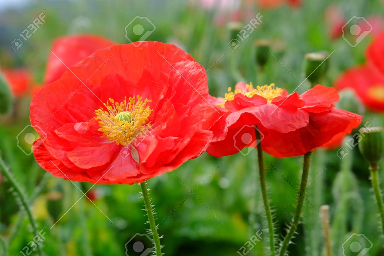 Close up red opium poppy flower in garden stock photo picture and close up red opium poppy flower in garden stock photo 56570084 mightylinksfo