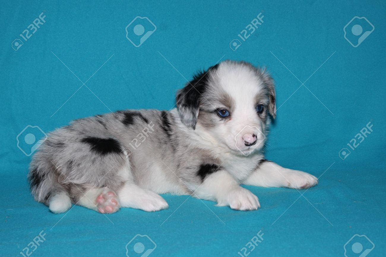 Cardigan Welsh Corgi Puppy Lying Blue Merle Blue Background Stock