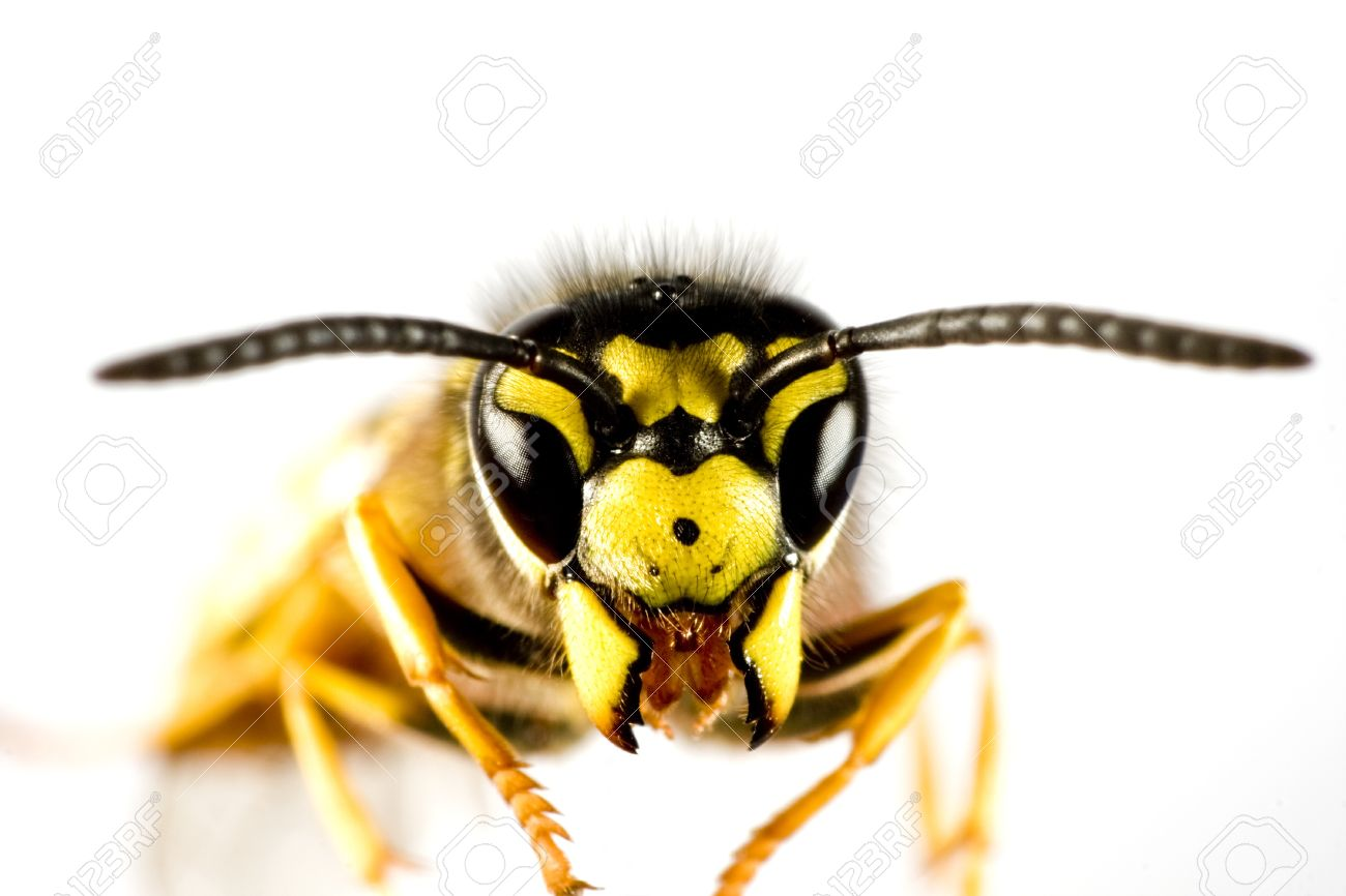 head of wasp in extreme close up with white background and blured body Standard-Bild - 10019630