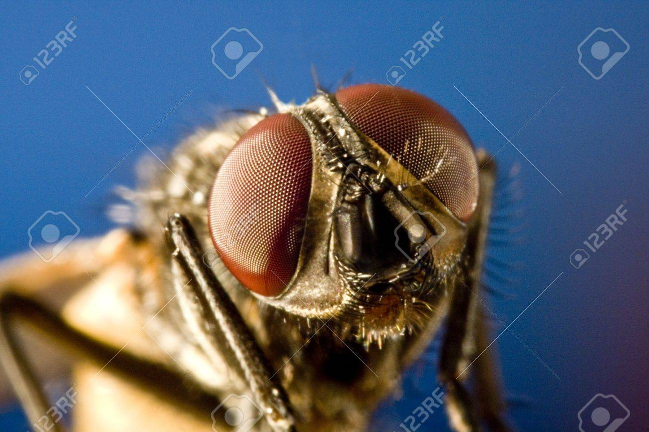 Horse fly with black background with head in focus. Stock Photo - 10079554