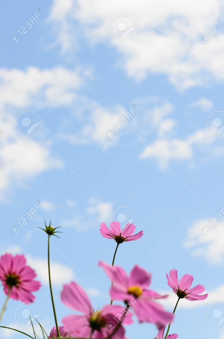 Cosmos Flower Pink Color Bloom In Gardenbeuatyful Daisy And Stock