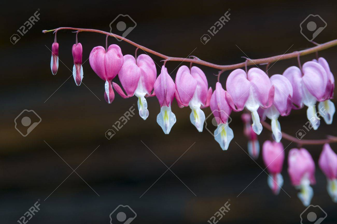 This Perennials Plant Names Bleeding Heart Or Dicentra Flowers