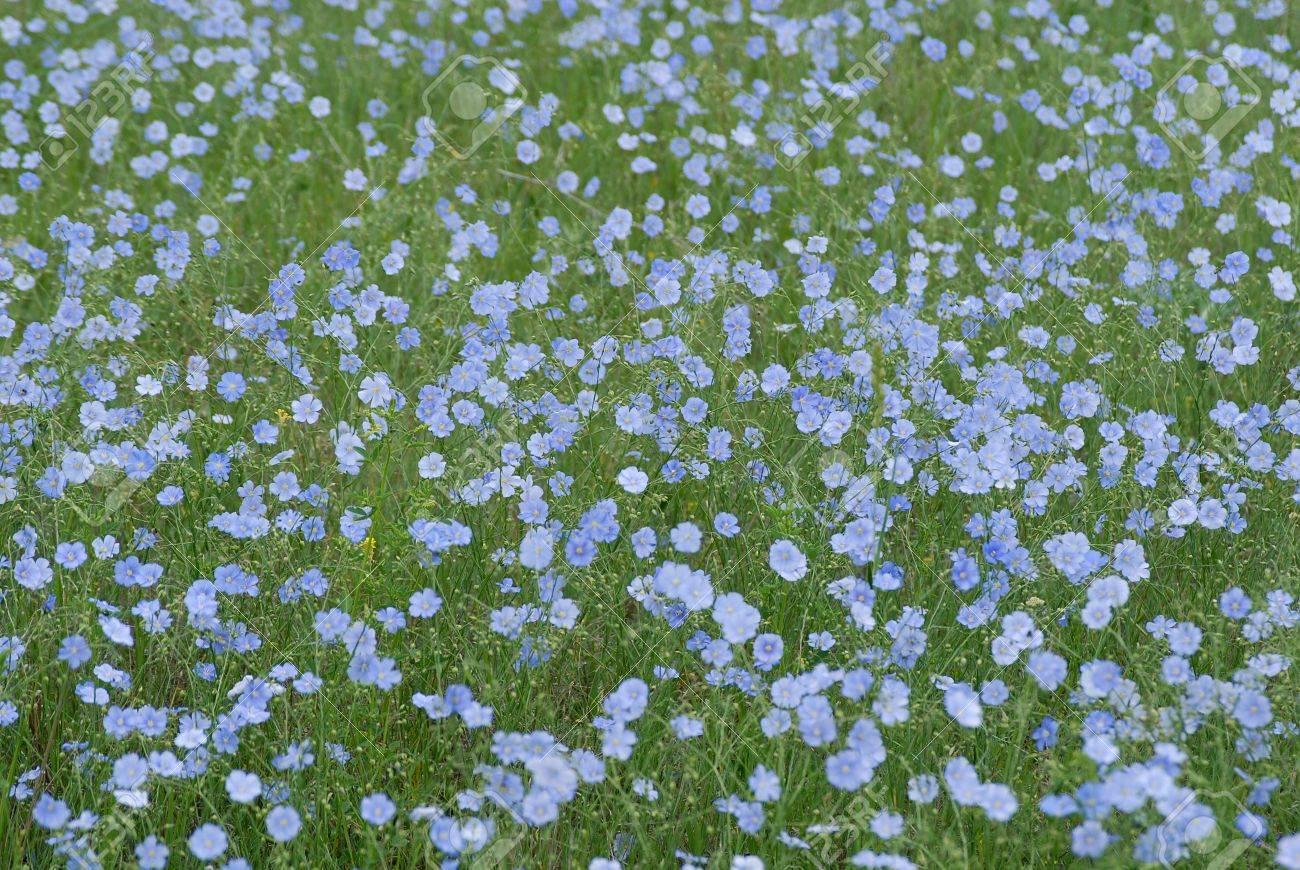 Il S Agit Champ De Lin Sauvage Nom Botanique De Ces Fleurs Est La