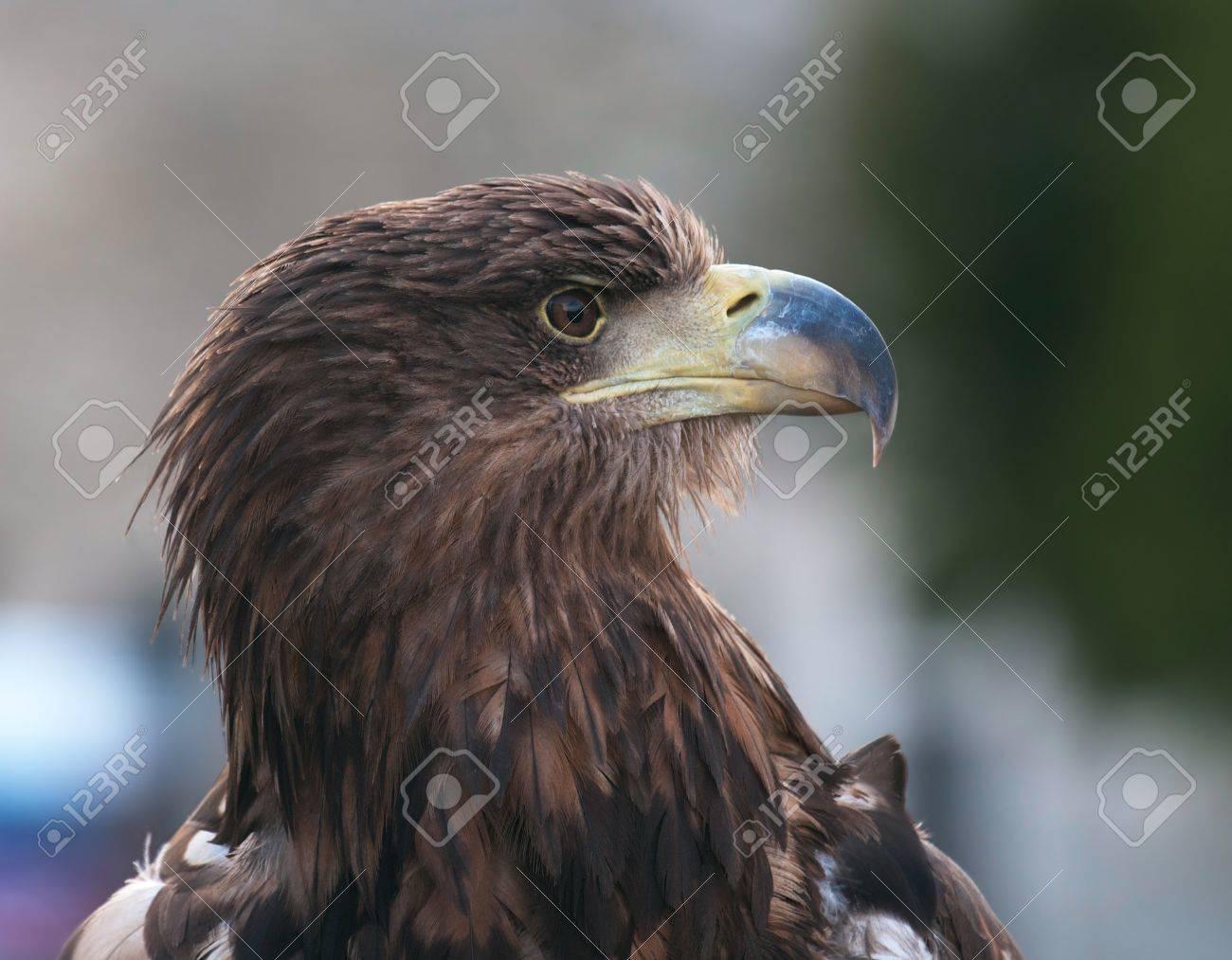 The Tawny Eagle Aquila Rapax Is A Large Bird Of Prey The Eagle