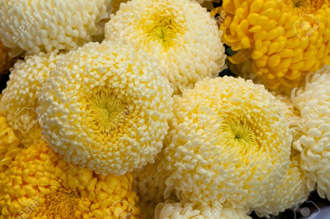 these are big yellow and white chrysanthemum these flowers are
