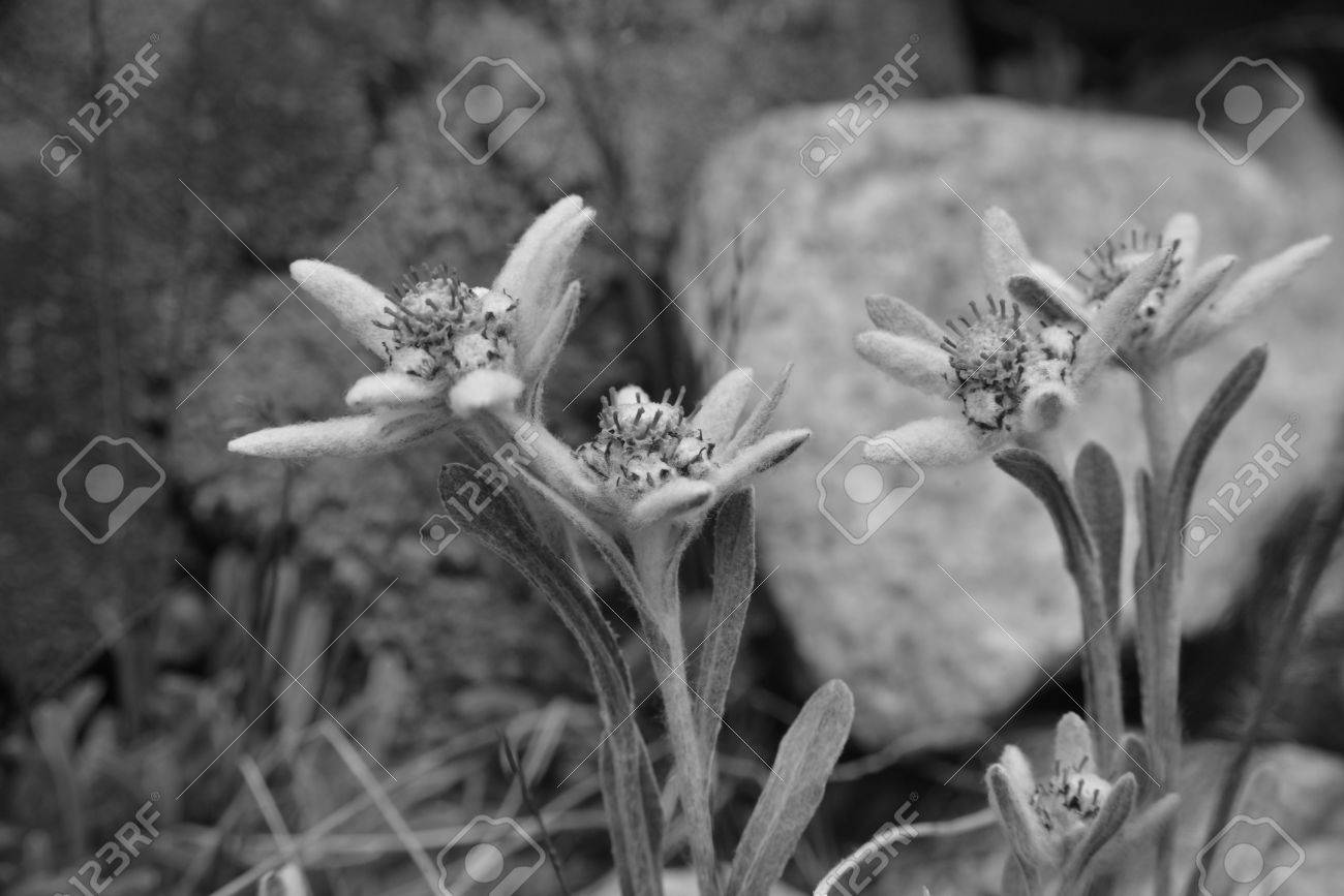 Famous Edelweiss Flowers Leontopodium Alpinum Close Up Black And
