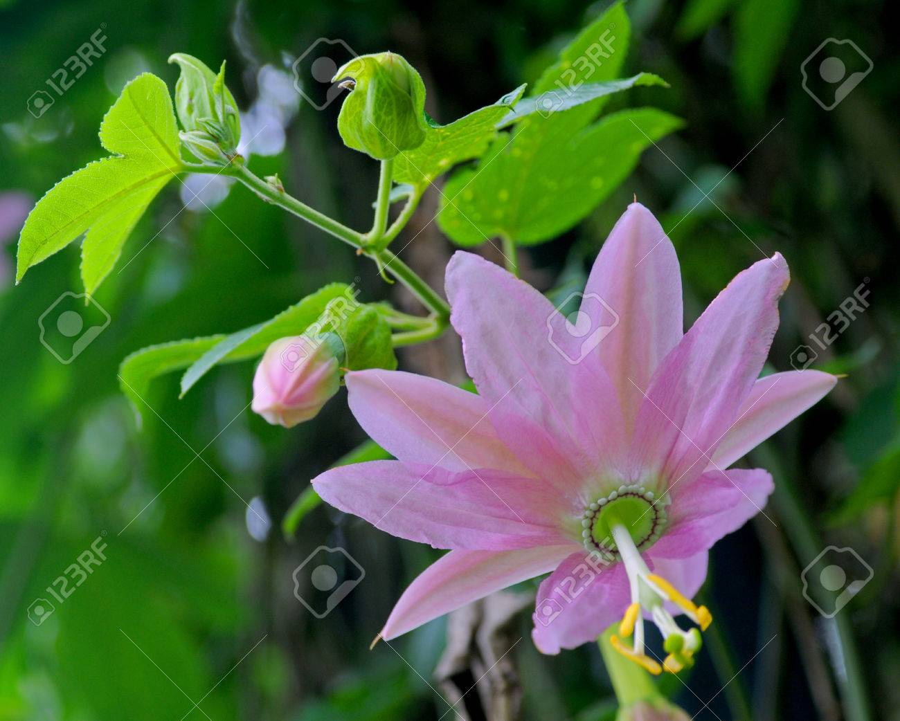 Close up pink passiflora flower in nature sri lanka passiflora close up pink passiflora flower in nature sri lanka passiflora known also as mightylinksfo