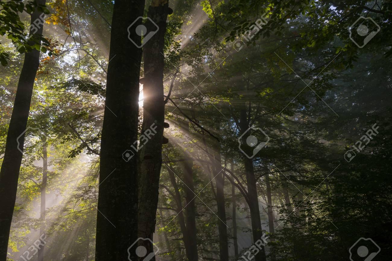 Raggi di sole penetrano mattina nebbia nella foresta. Alberi silhouette è in primo piano.