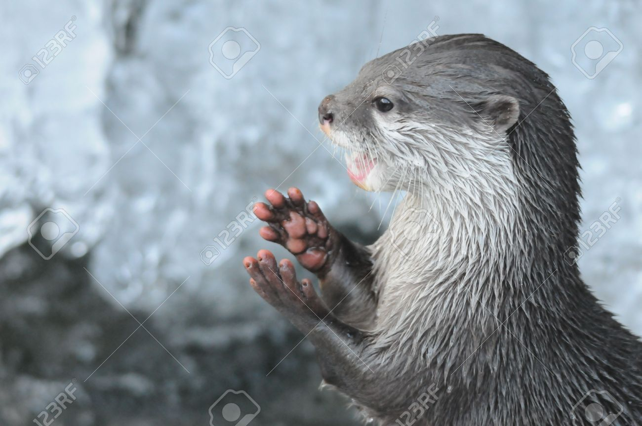 Otter Hands Stock Photo Picture And Royalty Free Image Image 8181269