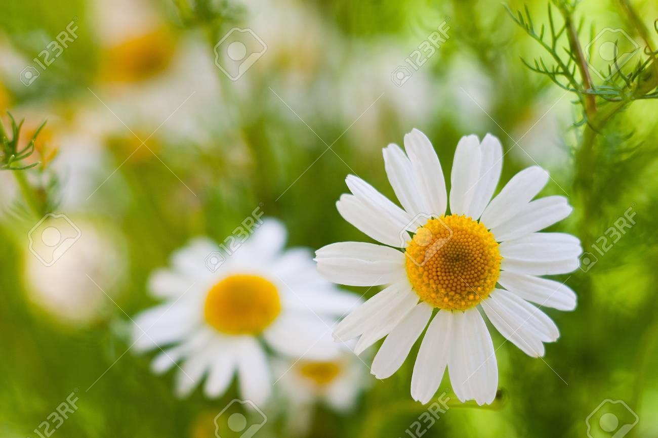 white chamomiles on blurry background Stock Photo - 9937270