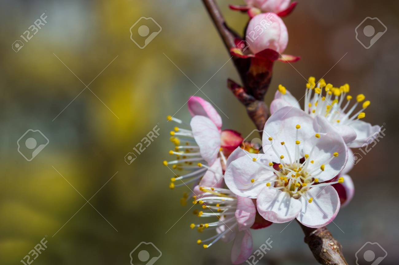 Cherry Flores Pequeñas Y Sencillas En La Primavera Fotos Retratos