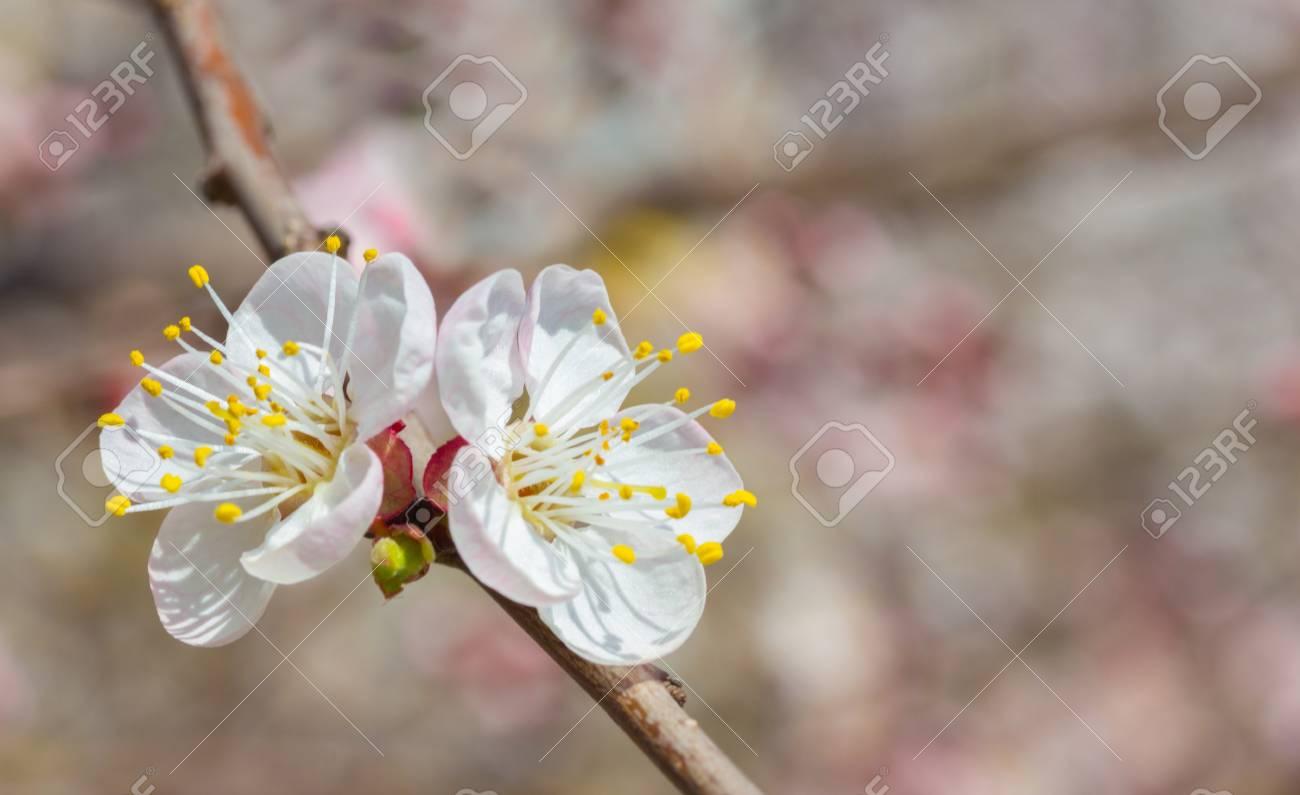 Flores Pequeñas Y Sencillas De Cerezo En Primavera Fotos Retratos
