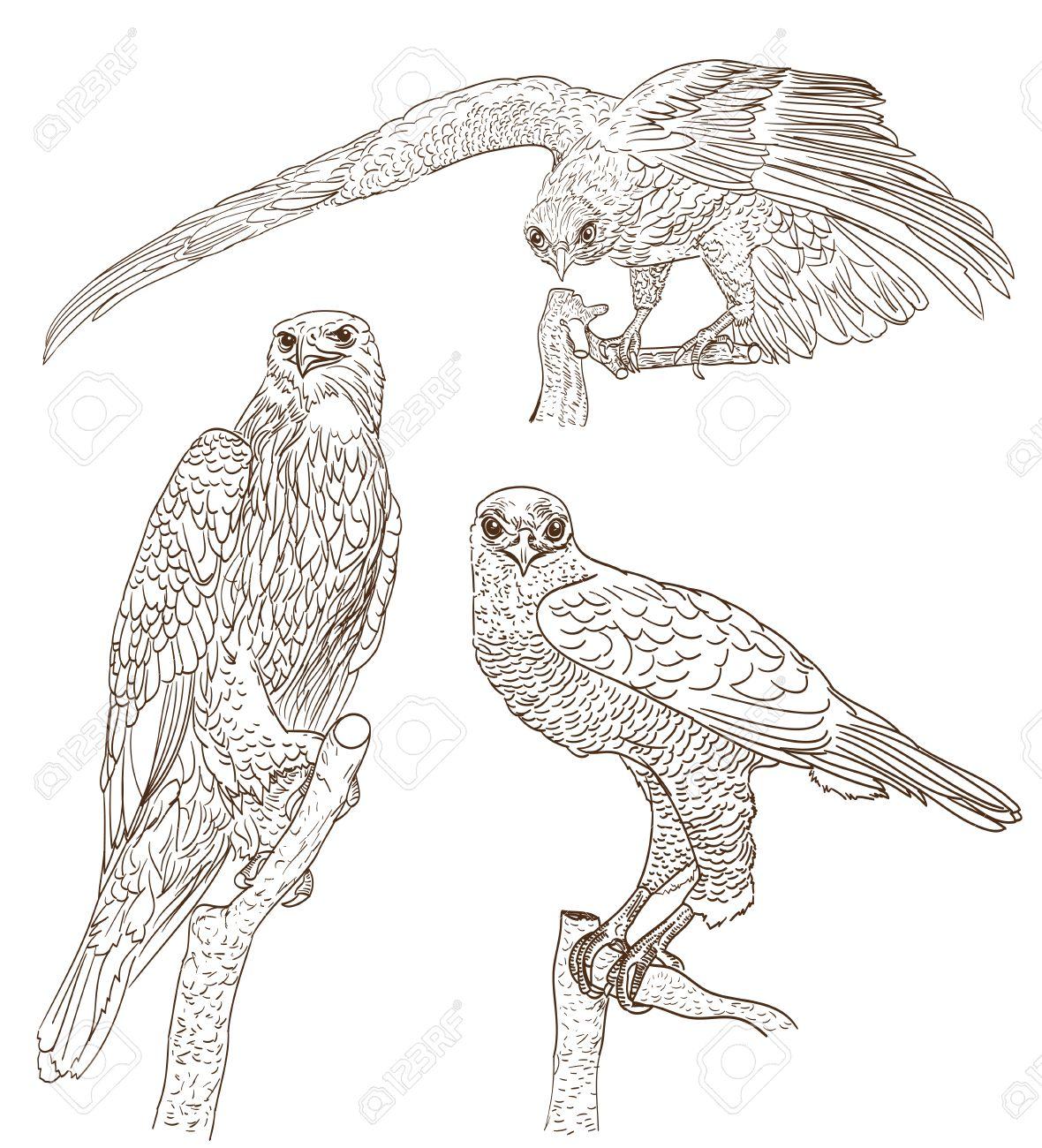 set of drawings of birds of prey royalty free cliparts vectors