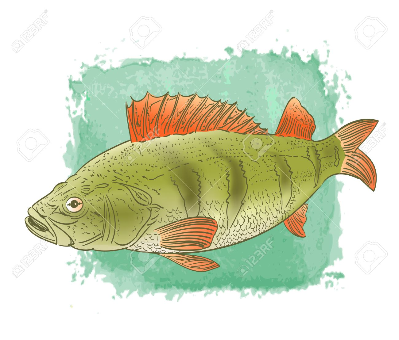 Freshwater fish clipart - Vector Freshwater Fish Color Drawing On Watercolor Background
