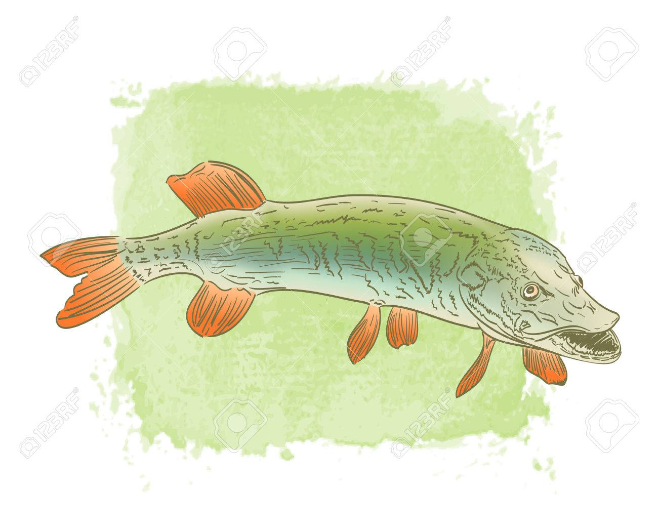 Freshwater Pike Fish Color Drawing On Watercolor Background Royalty ...