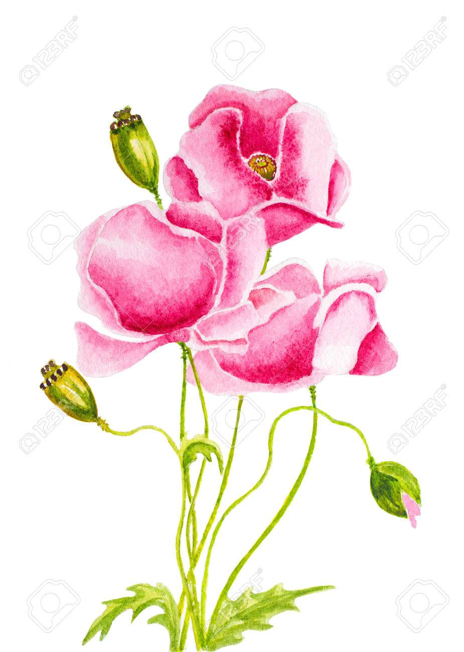 Pink Poppies Flowers Hand Painted With Watercolor On White Stock