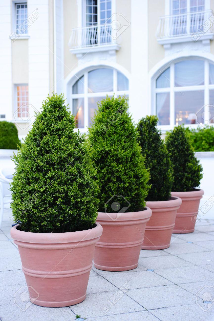Ornamental evergreen trees - Ornamental Potted Trees Stock Photo 11841267