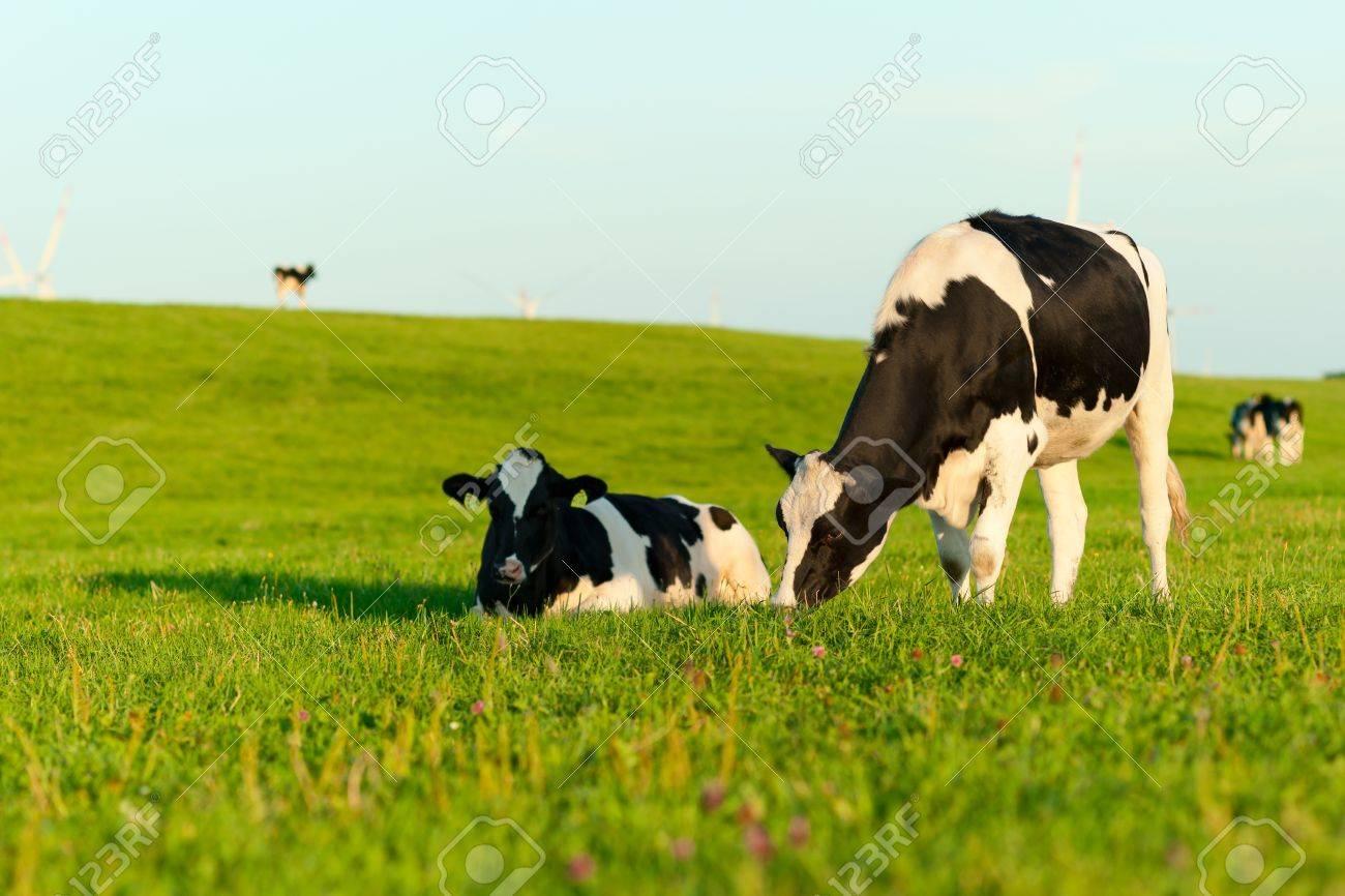Holstein cows grazing Stock Photo - 15214943