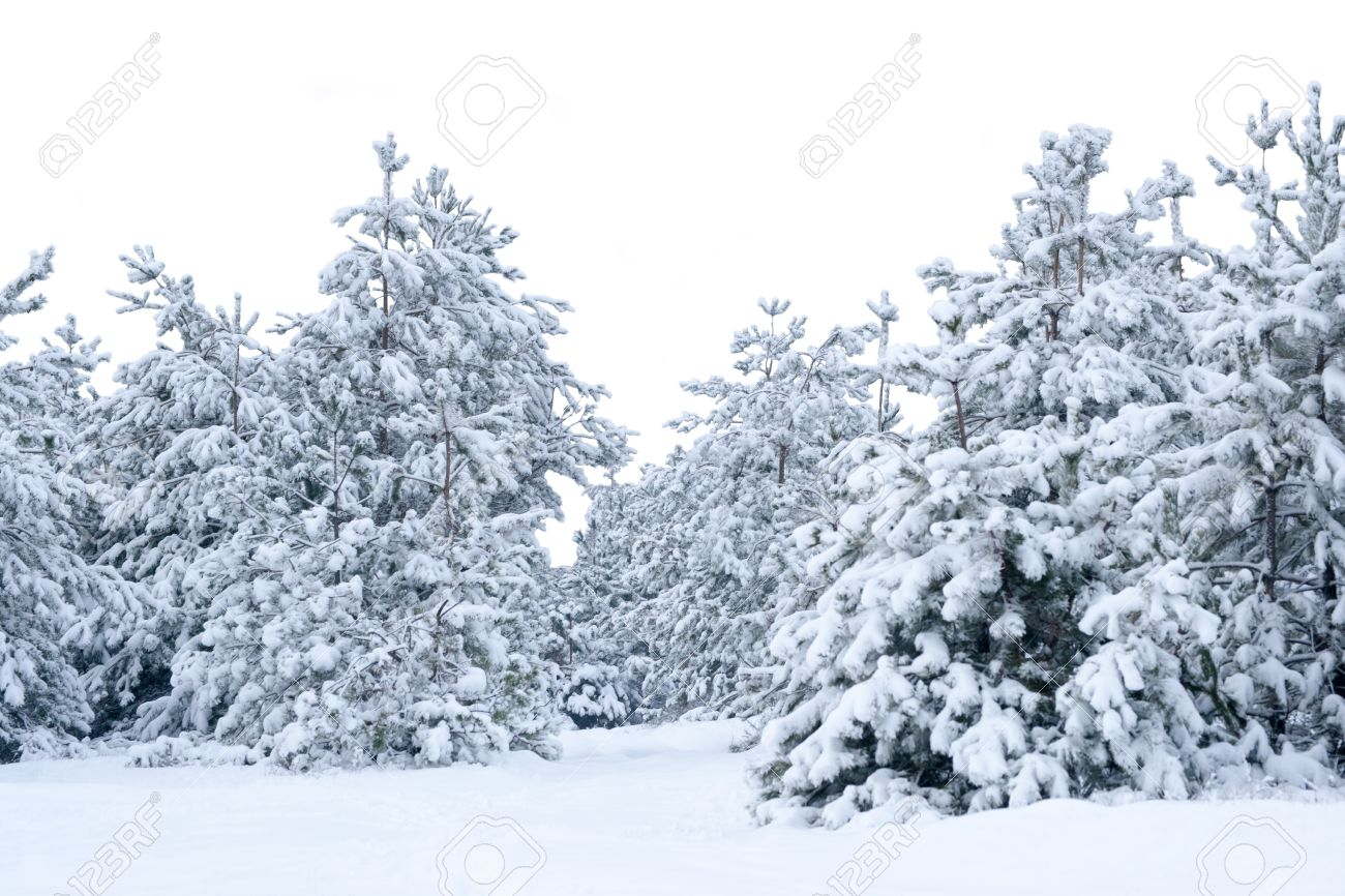 Christmas Forest.Snow Covered Spruce Christmas Forest Of Christmas Trees Isolated