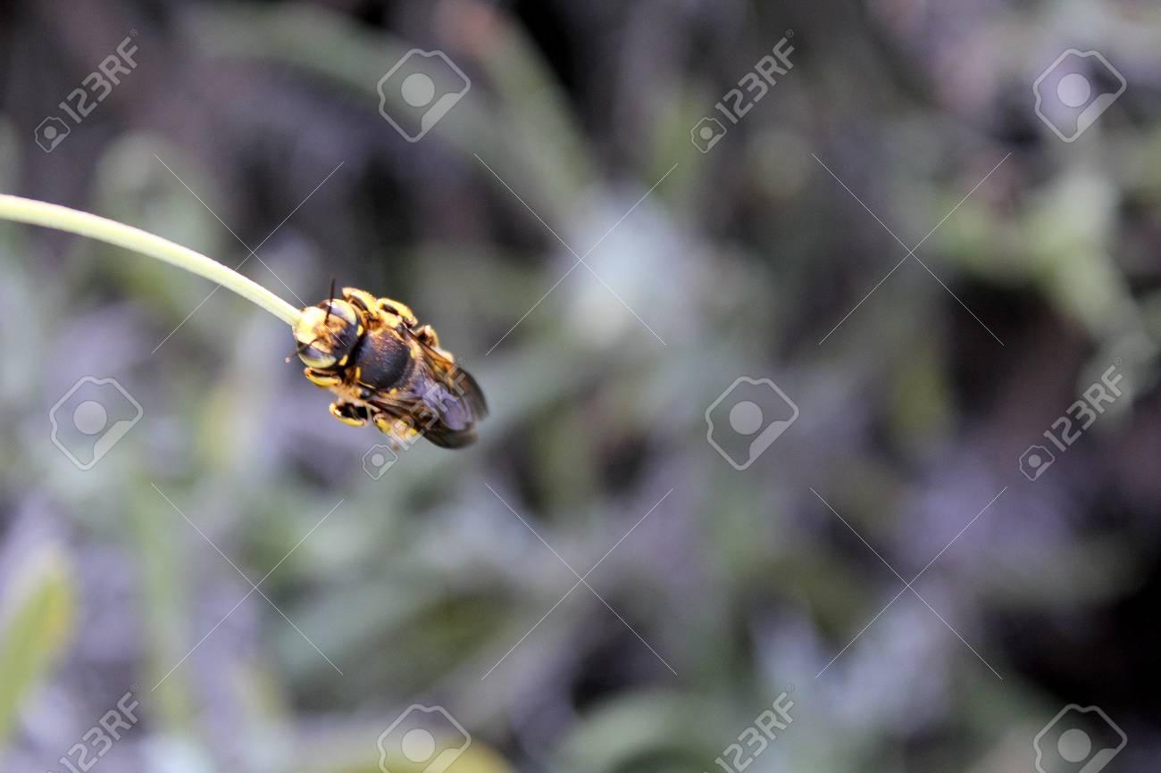 sleeping bee on a flower Stock Photo - 10033139