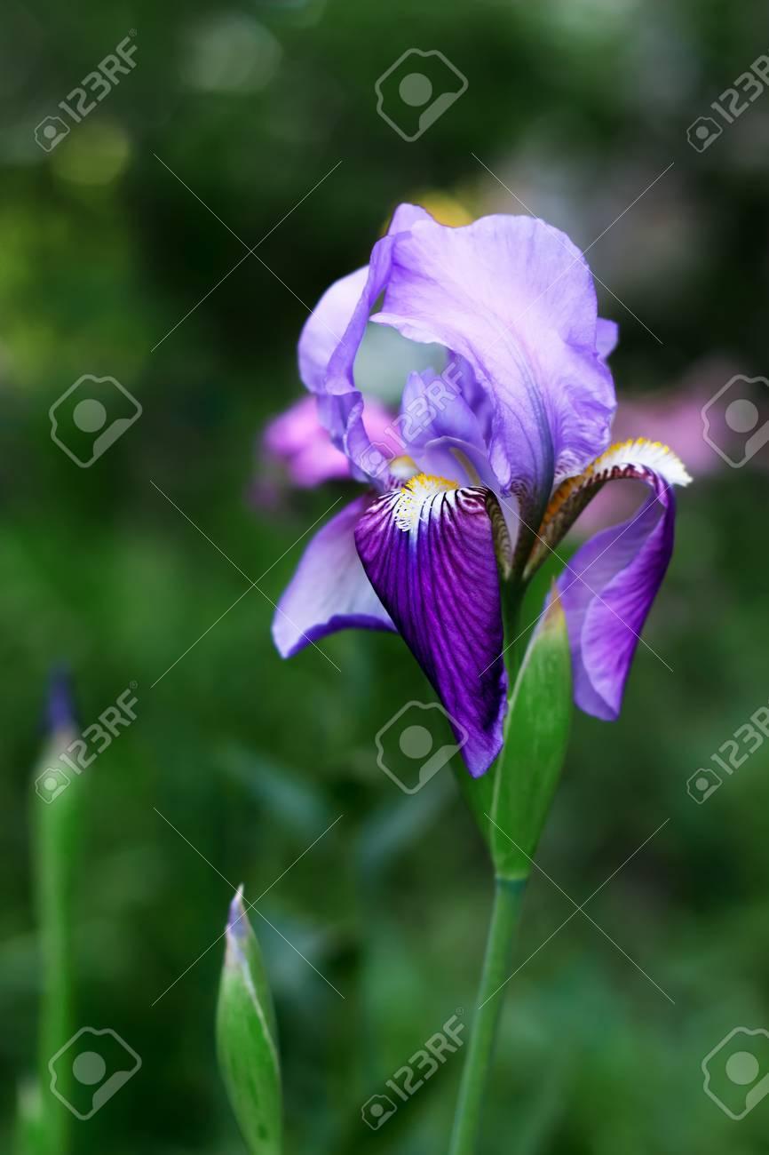 Purple iris flower on green background stock photo picture and purple iris flower on green background stock photo 78965009 izmirmasajfo