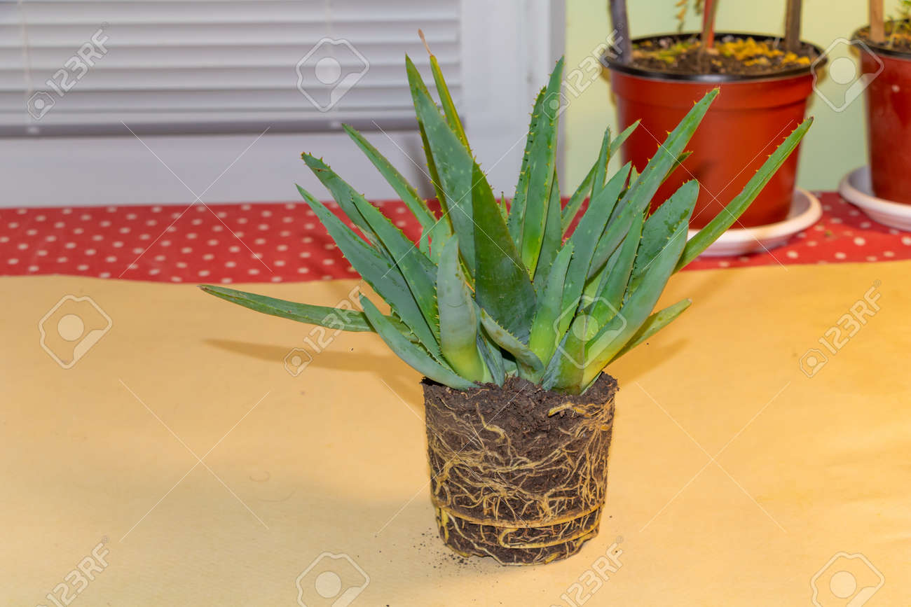 Aloe Vera Medicinal Plant Edible And Healing Very Healthy Aloe Stock Photo Picture And Royalty Free Image Image 159492438
