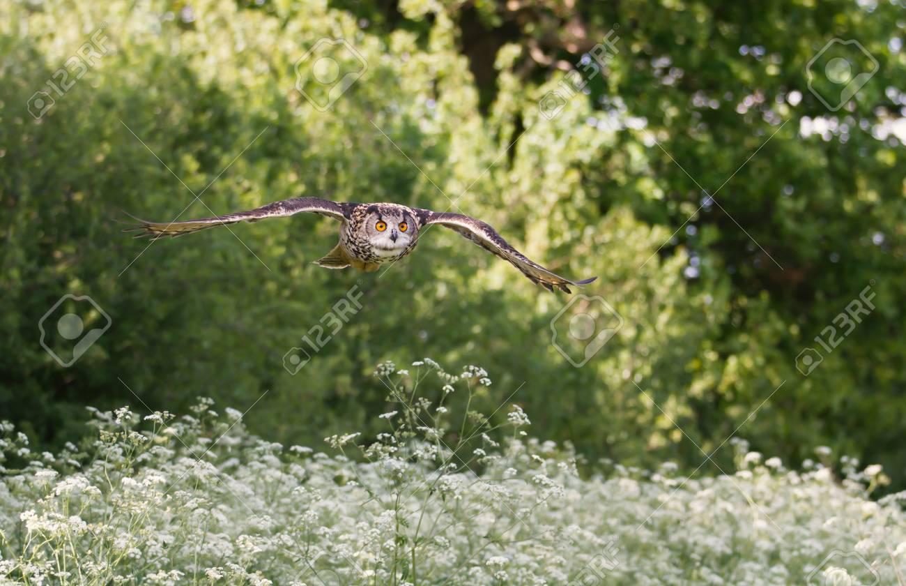 Eurasian Eagle Owl Flying Over A Field Of White Flowers In Summer