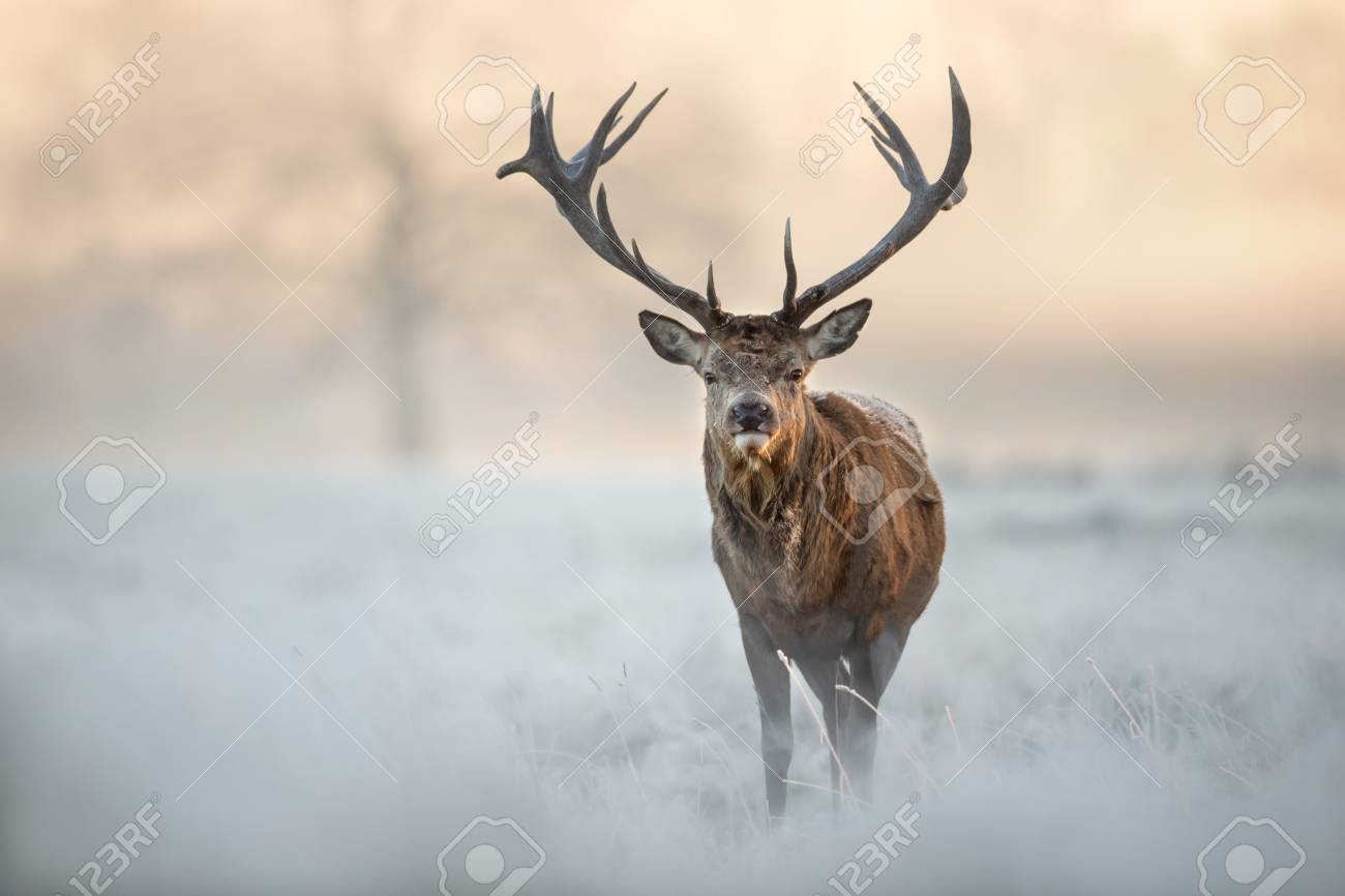 Red deer stag standing in a field of frosted grass on a beautiful early winter morning. Animals in winter. - 92099166