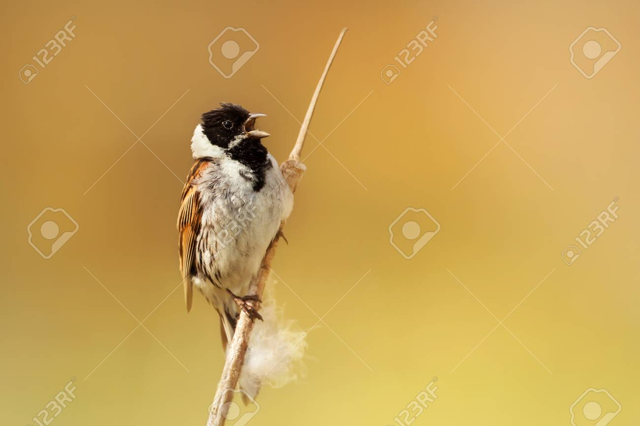 Male Common Reed Bunting Singing While Perched On A Reed In Rainham Stock Photo Picture And Royalty Free Image Image 92724823