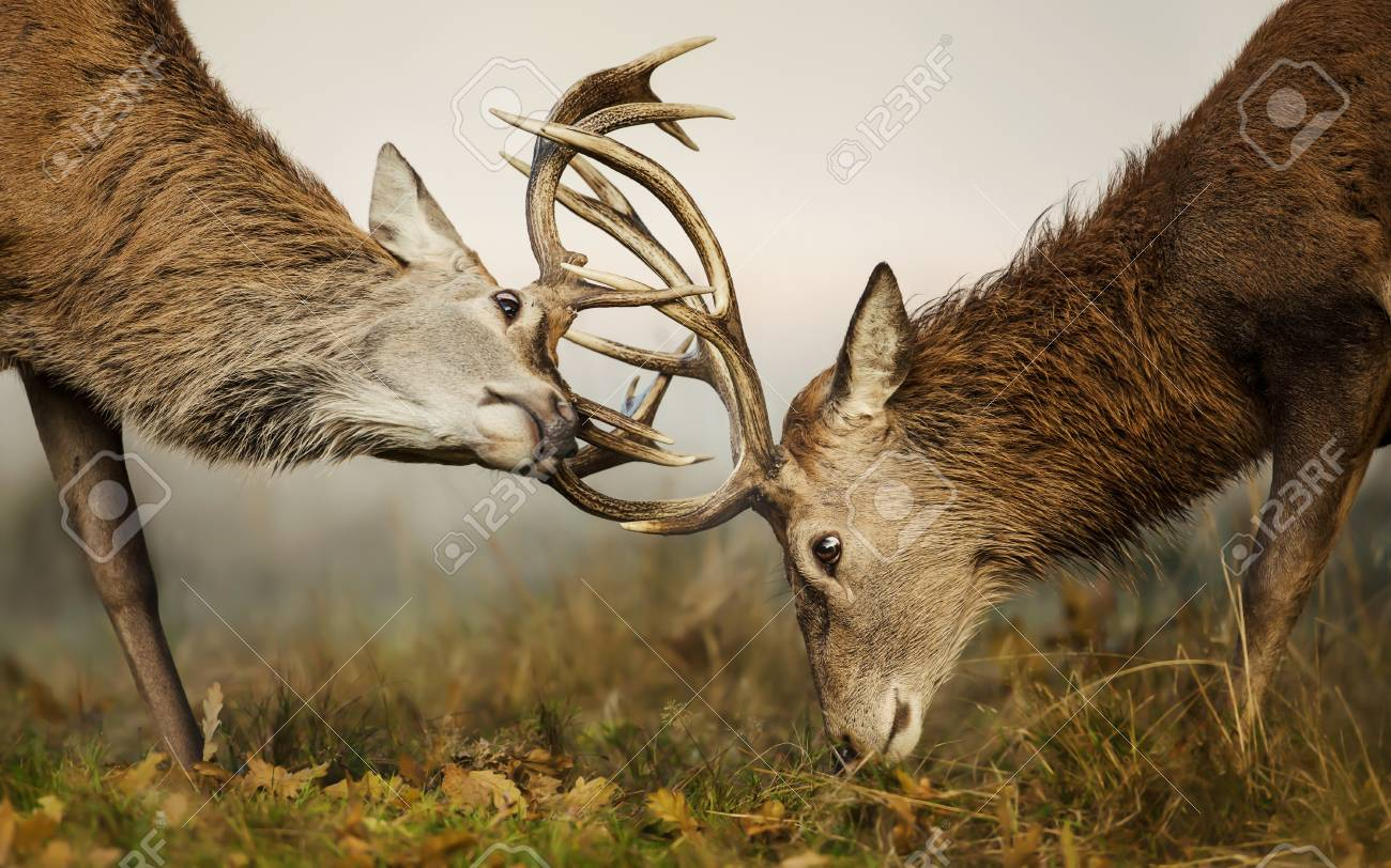 Two Red Deer Stags Fighting Over Dominance During Rutting Season.. Stock  Photo, Picture And Royalty Free Image. Image 92068660.